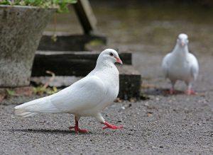 Vaccinele la porumbei – planificare si afectiuni