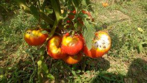 Mana, boala comuna la tomate – remedii